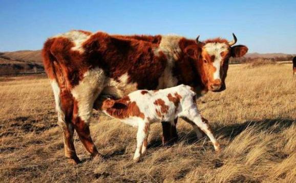 为何新手不建议养母牛