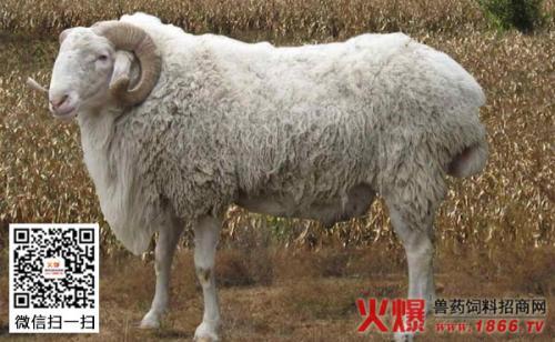 12月羊价!!!
