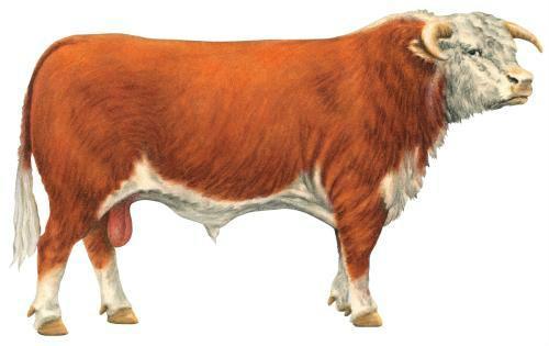 成年母牛不同时期应如何饲喂