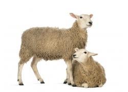 羊支气管炎的防治