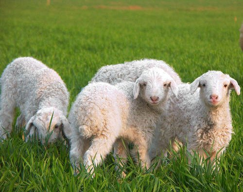 提高肉羊养殖效益抓五期