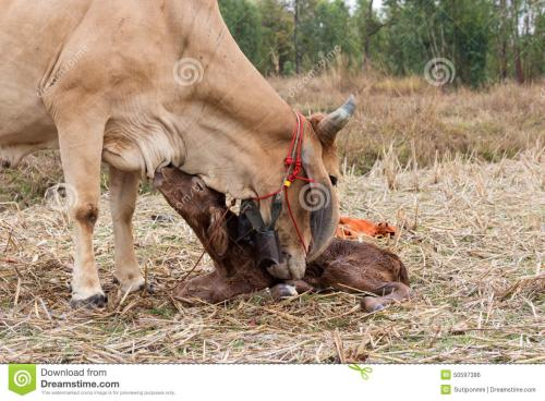 母牛产犊时和产犊后如何护理