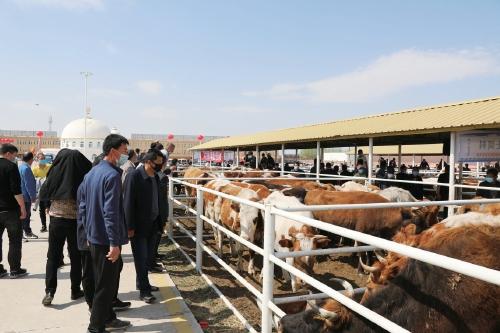 中旗向牛羊全产业链发展迈出坚实一步 鸿安大庙牛羊交易市场一个多月交易额