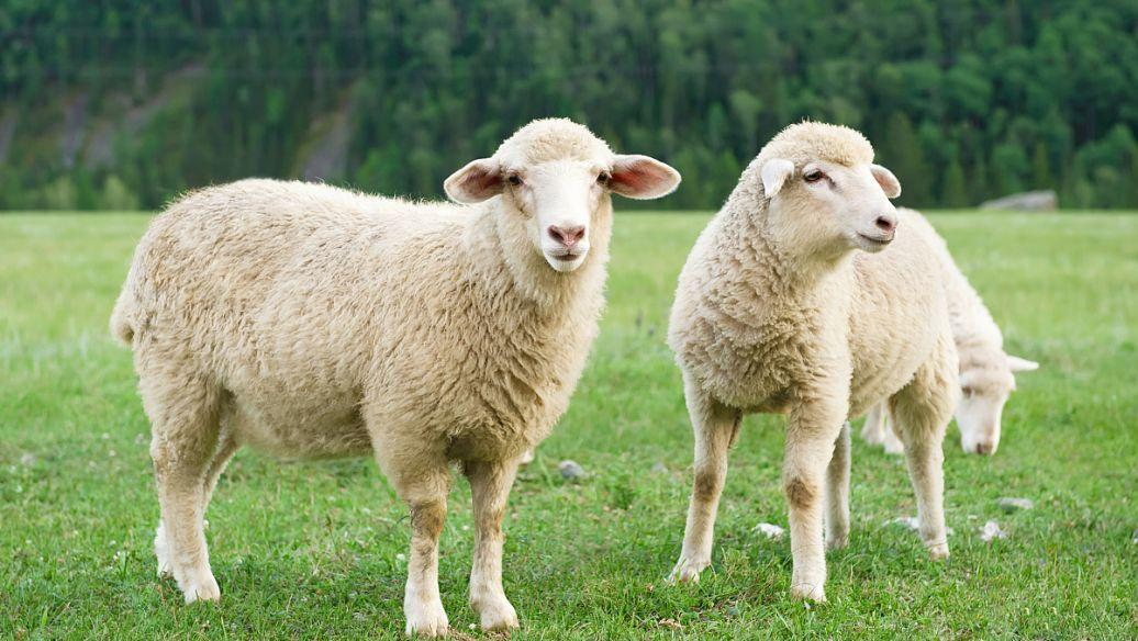 小尾寒羊羊痘的预防及治疗方法