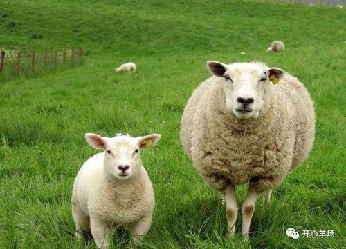 羊衣原体流产的原因及防治方法