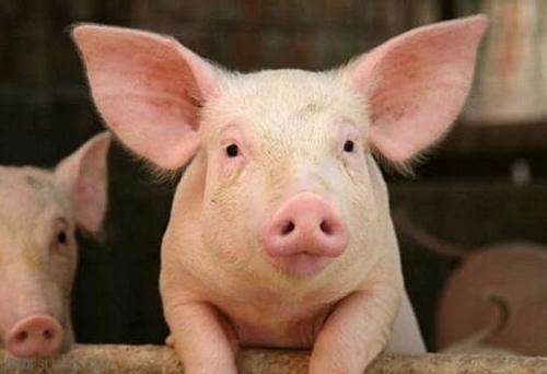 11月30日起中南六省全面禁止外地生猪调入 15问权威解读政策如何执行