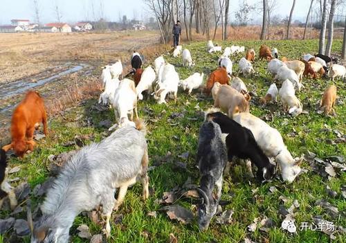 养羊自配饲料的四大误区