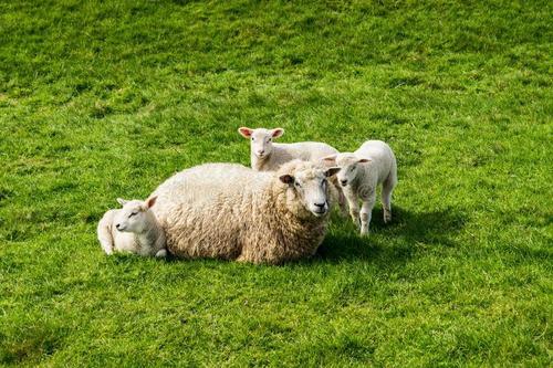 羊羔是3个月卖好还是7~8个月利润高?