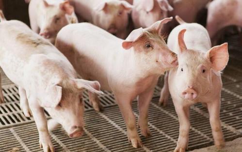 猪价高涨,未来的牛羊肉会替代猪肉市场么?