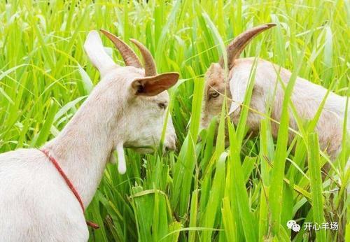 大多数养羊人都搞错的养羊冷知识