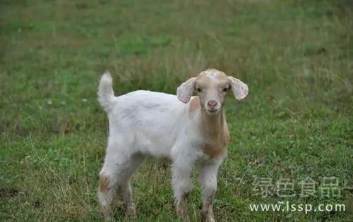 接羔保育常见病防治之一 羔羊奶结(新生羔羊真胃积食)
