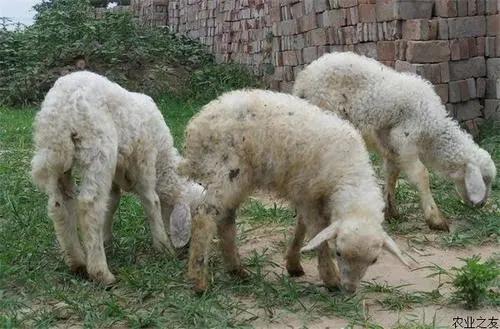 绵羊痒病的症状及防治方法