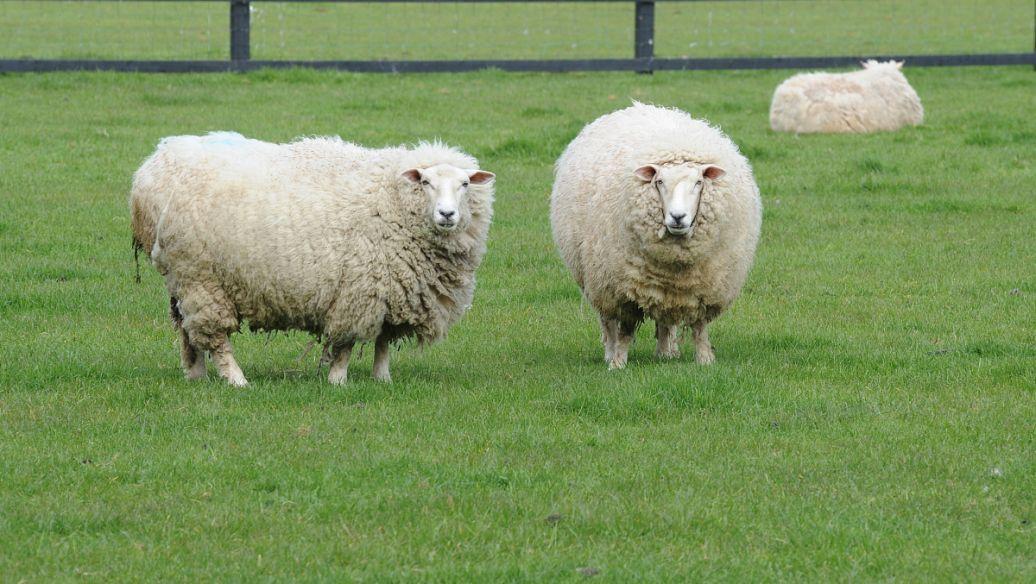 羊价突变?|6月17日 全国最新活羊价格