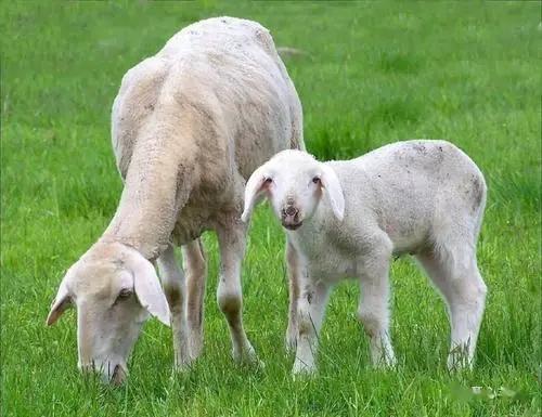 羊价下跌,1只羊少赚200元,养殖户该坚持还是放弃?