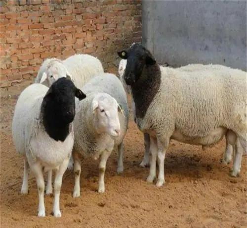 土方养羊:茄子沫攻克羊口疮