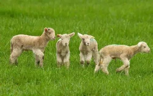 10月份羊价还会涨?这两大危险养羊人一定要警惕