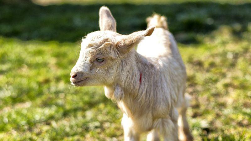 下半年肉羊出栏价格将有所回升