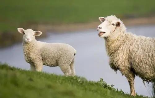 想知明年羊价,看这里!