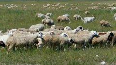 广西六旬老翁购买未检验疫山羊 引起Ⅱ级重大疫情