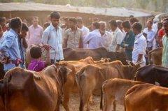 牛在印度被视为神,为何却是牛肉第一出口国?印官员回应让人想笑